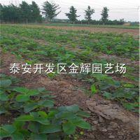 大量销售牛奶草莓苗 牛奶草莓苗的价格 质量 成活率高