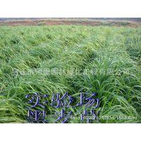供应冬牧70黑麦草一年生黑麦草优质 牧草种子 品种齐全 质优价廉