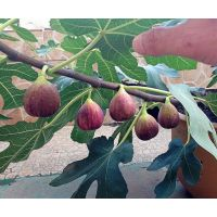 无花果苗哪里有?泰安佳丽园艺大量供应优质高产无花果苗品种全 价格优