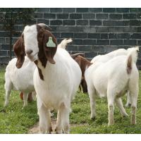 批发波尔山羊 肉羊羊羔 肉羊养殖场 农村养殖项目