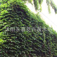 批发绿化苗木 爬山虎种子  攀援植物 墙体绿化 园林工程