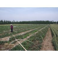 基地红薯苗供应