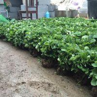 乾纳瑞农业科技(在线咨询)|宝山红颜草莓苗|红颜草莓苗基地