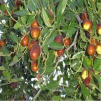 志森园艺嫁接枣树苗规格 2厘米冬枣枣树苗价格 品质纯正