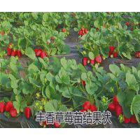 供应味道甜美的草莓苗 丰香草莓苗 浙江草莓种苗批发