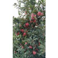 山东今日优质红星苹果供应价格