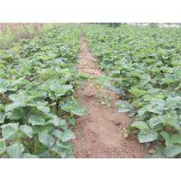 泰安龙泽苗木(图)、丰香草莓苗种植、中山丰香草莓苗