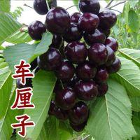 山东大泽山 嫁接车厘子苗 大樱桃苗 适合南方种植 晚熟樱桃新品种