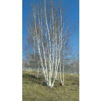 丛生白桦价格/白桦价格/大量出售白桦各种规格