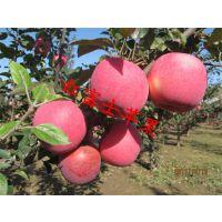 壹棵树农业供应红富士苹果树苗 盆栽苹果树苗 2年结果成活率达99%