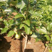 澳洲青苹苹果树苗几年结果 澳洲青苹苹果树苗管理要点