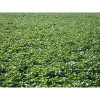 商薯19红薯苗供应商价格