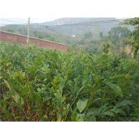 板栗苗基地哪里的好?泰安润佳农业专业板栗苗培育基地 品种优 价格优惠