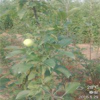 泰安基地大量供应嫁接苹果苗 两年苹果苗价格 1.5米高0.8公分粗成苗