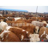 鲁西黄牛牛肉牛养殖场 广西肉牛犊繁育基地牛市场行情