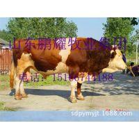 鲁西黄牛能长到多少斤,西门塔尔牛.夏洛莱牛肉牛犊养殖技术指导