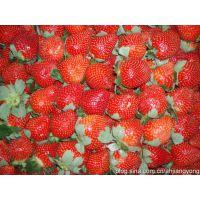 丰香草莓基地出售草莓苗