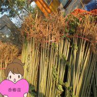 红油香椿树苗基地大量供应株高1-2米 香椿树苗优惠销售中