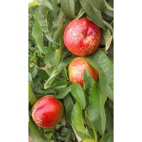 陕西油桃种植基地油桃批发价格中油5油蟠桃价格