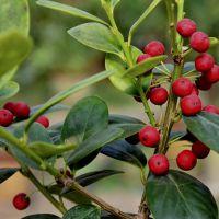 供应常绿灌木 无刺枸骨 自产自销 基地种植 量大优惠 货源足 量大从优