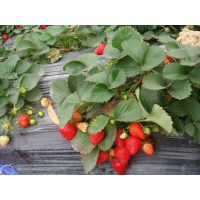 【山东草莓苗】 山东草莓苗价格 山东草莓苗产地价格