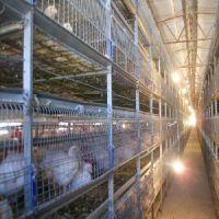 价格合理的辽宁卖的肉鸡笼,优质全自动肉鸡笼,全新设计的优质肉鸡笼 聊城口碑好的肉鸡笼出售