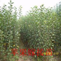 1公分苹果苗,1米高红富士苹果苗
