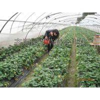 草莓苗哪里品种好 三叶一芯草莓苗价格
