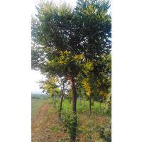供应米径6-20公分栾树133棵