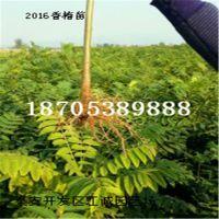 香椿苗 红油香椿苗 食用 结果适合南方北方种植的品种
