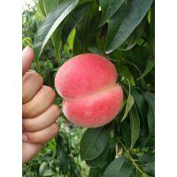 岱妃桃树苗种植 哪里能买到纯正岱妃桃树苗