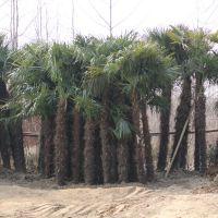 常年供应优质棕榈 棕榈苗 基地种植 量大优惠 量大优惠 庭院绿化苗木工程