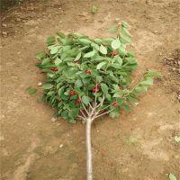 甘肃3公分樱桃苗价格 当年挂果成活率高 优质嫁接吉塞拉樱桃树苗