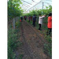 安徽萧县老百姓家庭农场供应优质夏黑葡萄苗