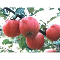 湖北苹果苗|旭昇园艺场|苹果苗价格