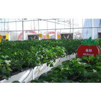 哪里卖的红颜草莓苗品种纯?哪里的红颜草莓苗价格便宜、红颜草莓苗基地