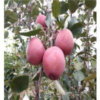 红肉苹果苗、红色之爱红肉苹果苗(图)、119-06红肉苹果苗