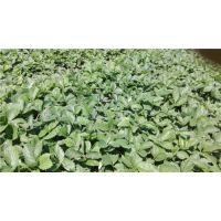 脱毒草莓苗价格、贵阳脱毒草莓苗、世杰园艺场(在线咨询)