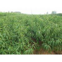 供应1-10公分梨树苗 新高黄金梨梨树苗批发出售 品种纯正
