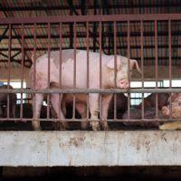 新鲜猪 生态养殖生猪 三元猪 绿色健康食品 特价产品