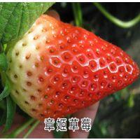 优质草莓苗-章姬草莓苗 保纯度 包成活