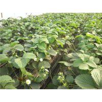 世杰园艺场(在线咨询)|百色脱毒草莓苗|脱毒草莓苗种植