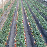 全明星草莓苗栽培|太原全明星草莓苗|红丰园艺场(在线咨询)