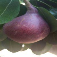 考密斯梨苗 考密斯梨树苗 哪里有红梨树苗