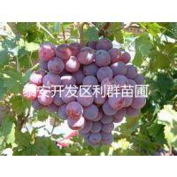 美人指葡萄苗价格 美人指葡萄树苗 哪里有美人指葡萄苗 哪里便宜