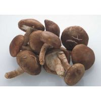 冬季平菇管理的关键