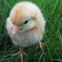 海兰褐商品代雏鸡