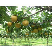 梨树苗山西销售商,山西哪里梨树苗便宜,晚熟新品种耐储梨苗