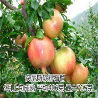 批发果树苗突尼斯软籽甜石榴树苗 优质品种果树甜石榴苗 高成活率