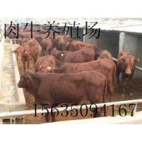 宁夏西门塔尔肉牛犊价格